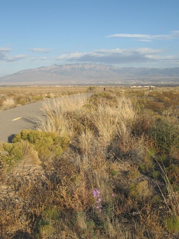 Purple Aster amongst desert brush aside Paseo de la Mesa Trail