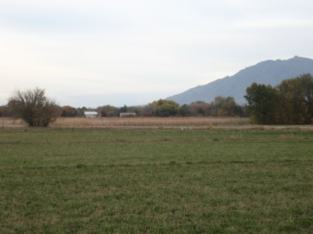 Cranes blend right in with the fields and Sandias