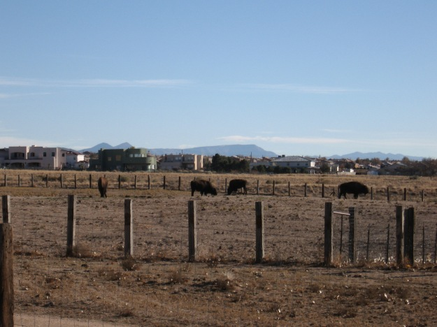 Yes there are buffalo in Nuevo Mexicano, even in Albuquerque!  The Sandia keep them at the base of the big mountain