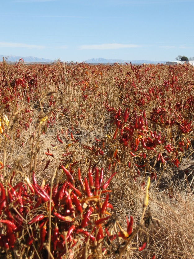 Chiles drying in field near Hatch, NM