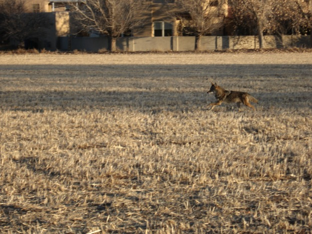 This guy or gal was in the uncut field.  Unseen until he sprang out.  I also flushed out two pheasants, which startled me!