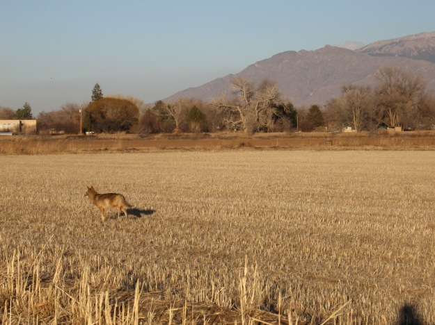 Coyote in the Los Poblanos Fields