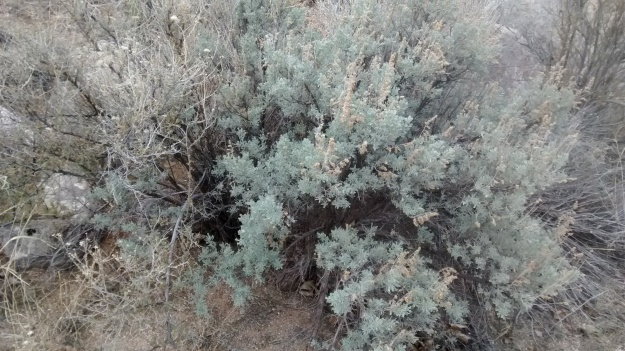 I became accustomed to Artemisia Tridentata in the Great Basin.  I love sagebrush, and they live here.
