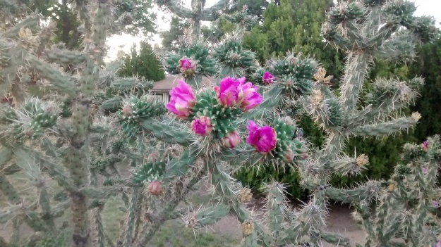 new cholla flowers