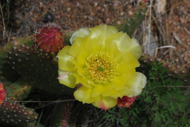 Prickly Pear flower Pino Trail 2015.6.14