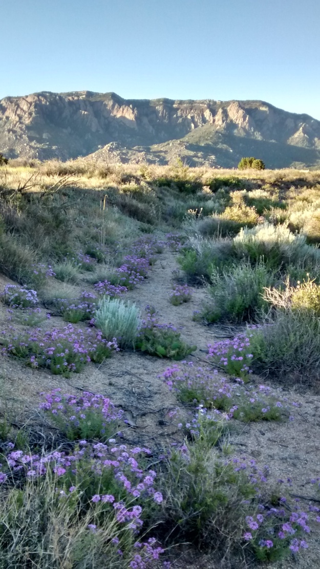 purple flower trails to Sandias