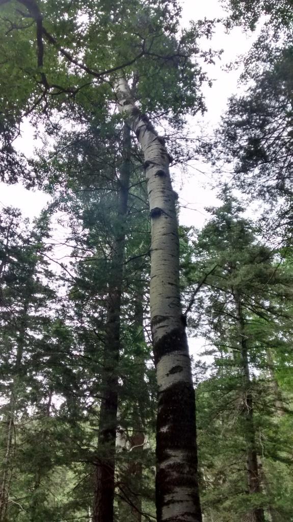 gigantic aspen on west rim trail