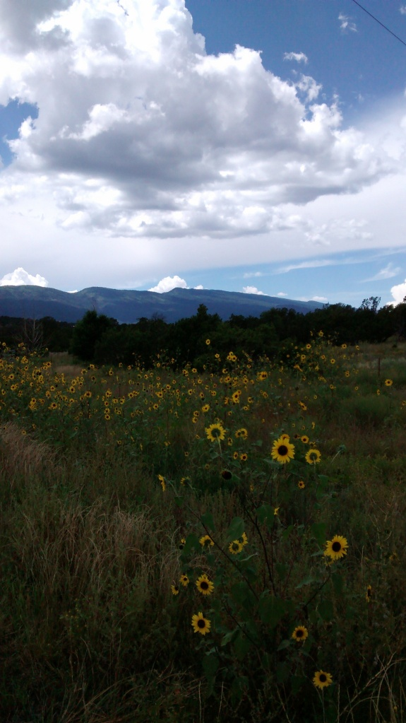 A look across a sunflower field toward the Sandia Crest from Frost Road