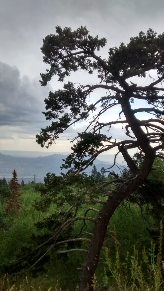 This tree lives near 10,000 feet above sea level high up on the Sandia Crest