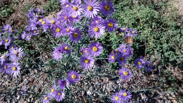 Purple Aster butterfly on