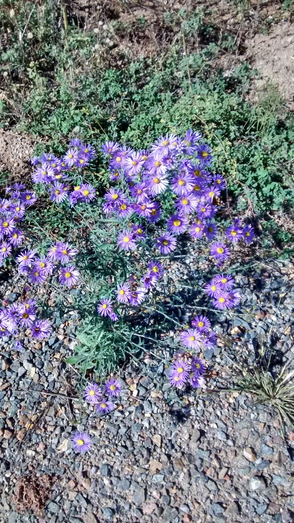 Purple aster greens and rocks