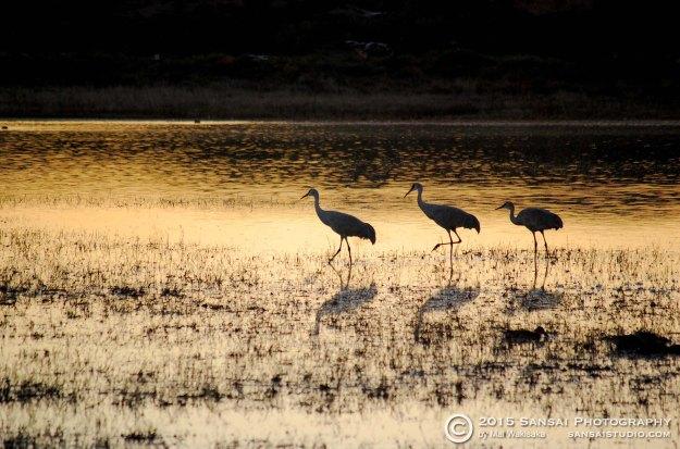 cranes_bosque-del-apache-nov-2014c