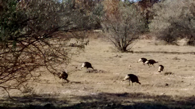 I saw wild turkeys on the 313 on the Sandia Reservation south of Bernalillo on the ride Saturday