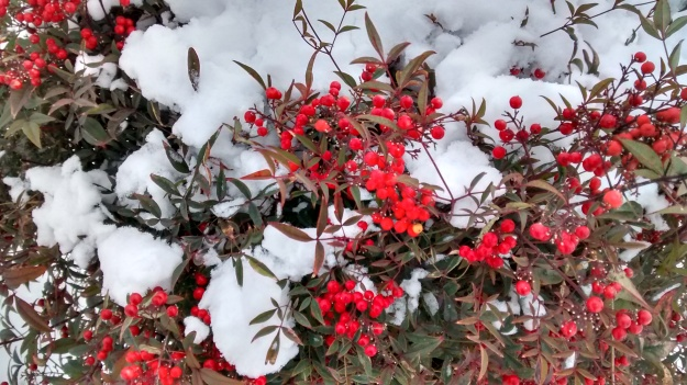 ABQ berries in snow