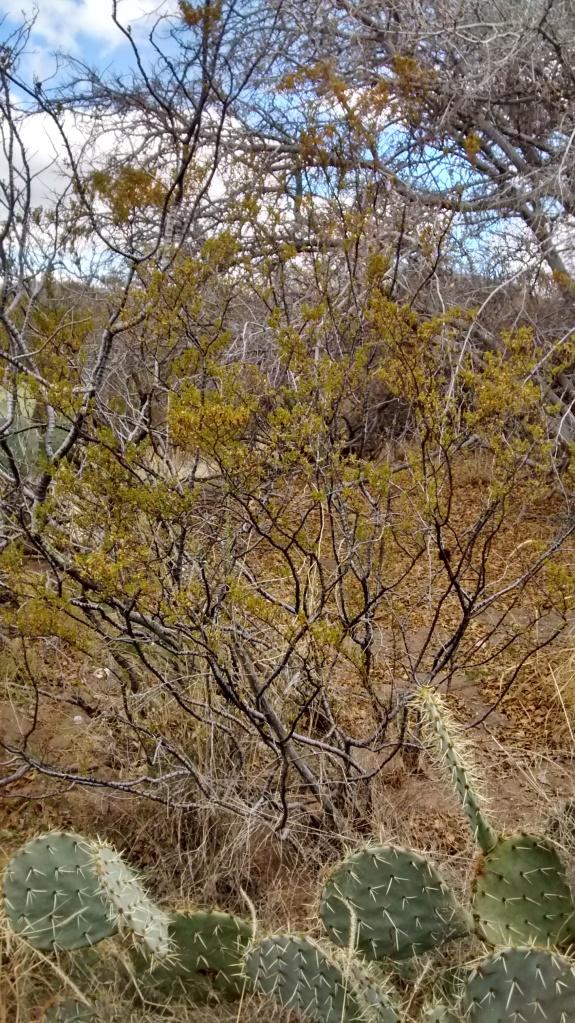 cresosote bush