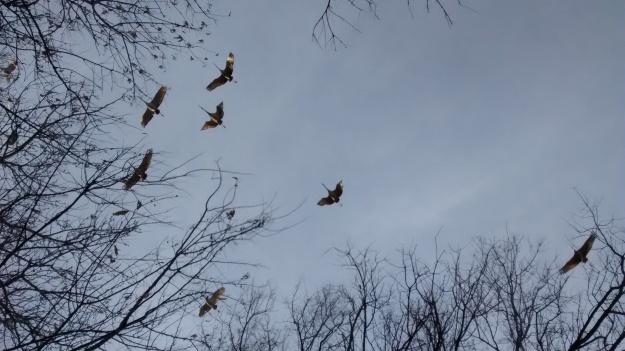 Cranes wingspan