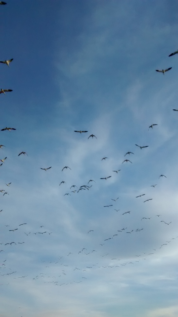 Snow geese above