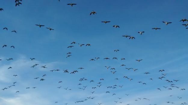 Snow geese arc