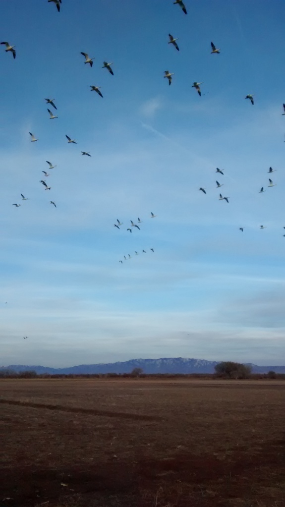 snow geese arcing
