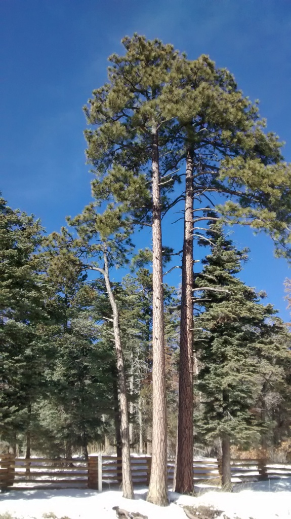 double pine on Sandia Road