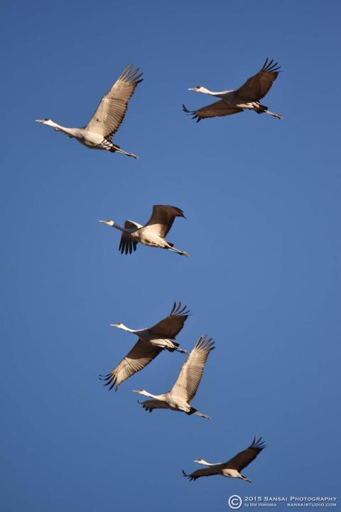 Mai Cranes