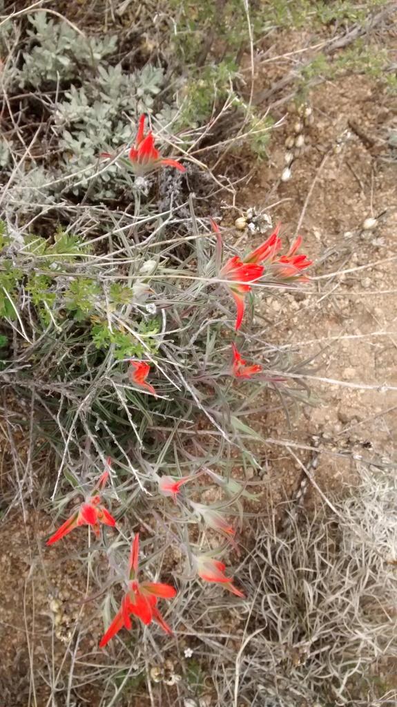 Indian Paintbrush array High Desert