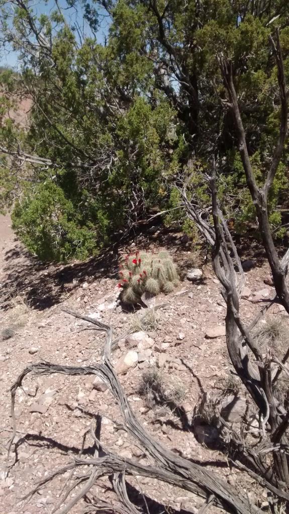 San Lorenzo hidden cactus flowers
