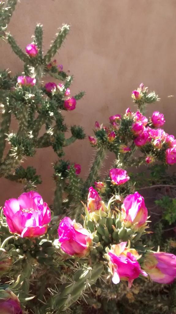Cholla flower sun