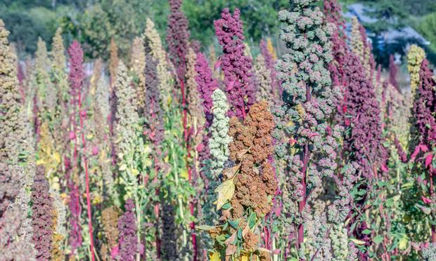 dry-farmed-quionoa-in-sebastopol-ca-photo-credit-michelle-davidoff_handout