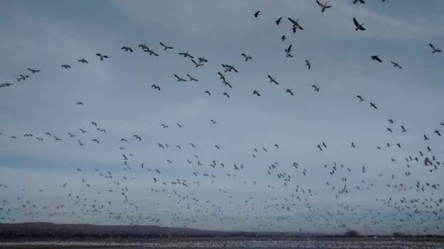 snow-geese-explosion